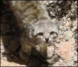 """""""Le chat des Andes"""" est une espèce en danger :"""