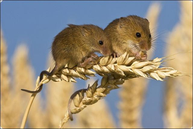 Qui accouche d'une souris ? Quelle question !