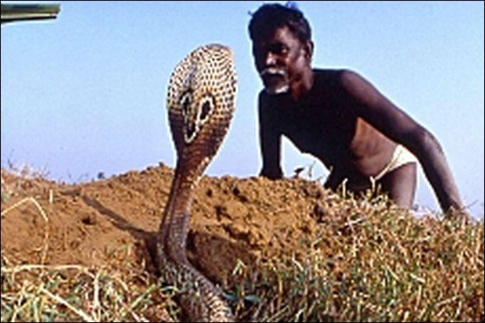 Dans quel pays vénère-t-on le serpent (Naga) dont le Cobra qui bien que dangereux, n'est pas tué ?
