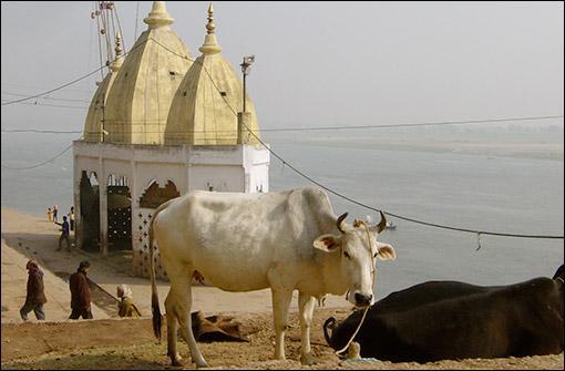 Dans quel pays les vaches sont-elles sacrées ?