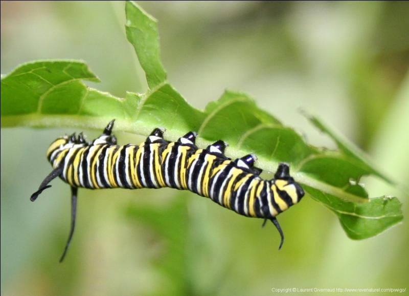 Quizz oh la belle chenille quiz betes papillons - Chenille verte et noire ...