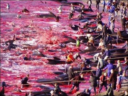 Chaque année, dans une ambiance de carnaval populaire, auxquels participent même les enfants, environ 1500 dauphins sont rabattus et massacrés, juste pour le sport, au nom de la tradition. Cela se passe dans les Iles Féroé, au Danemark.