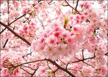 La magnifique fleur de cerisier (sakura) est une fleur :