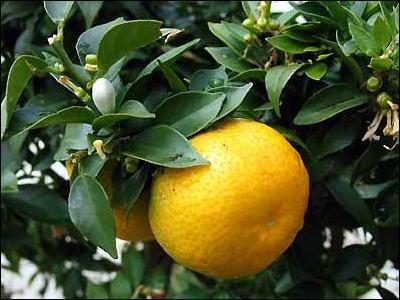 Quelle petite orange amère sert à la fabrication du Curaçao et du Cointreau ?