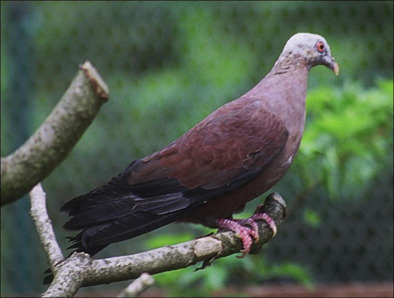 Dans la famille des pigeons, je demande celui tout à fait capable de se faire avoir encore plus que les autres.