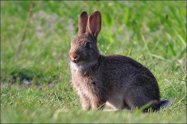 Quizz le lapin de garenne chasse quiz animaux lapins - Cuisiner un lapin de garenne ...
