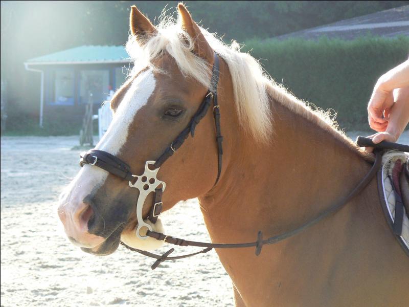 Ce n'est pas un mors car il n'agit pas sur la bouche du cheval, mais sur l'os du nez. La force de l'effet dépend de deux critères : la largeur de la muserolle et de la longueur des branches qui démultiplie l'effet de levier. C'est...