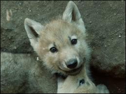 S'il fait un froid de loup, c'est qu'il fait ...