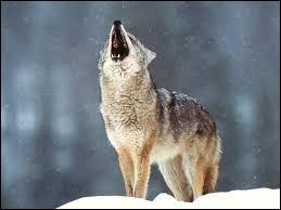 Si quelqu'un crie au loup, c'est ...