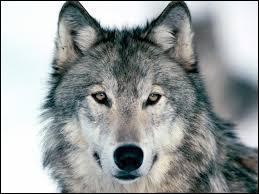 Le loup dans les expressions