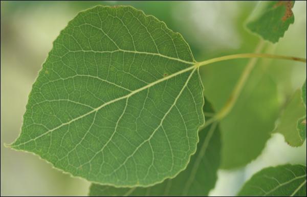 D'où proviennent ces feuilles ?