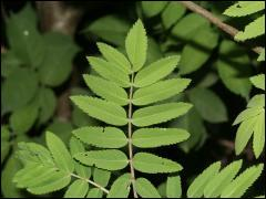 Sur quel arbre trouve-t-on ces feuilles ?
