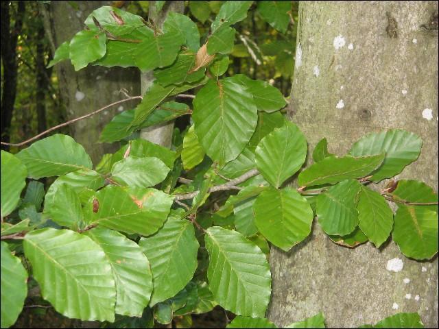 Sur quel arbre voyez-vous ces feuilles ?