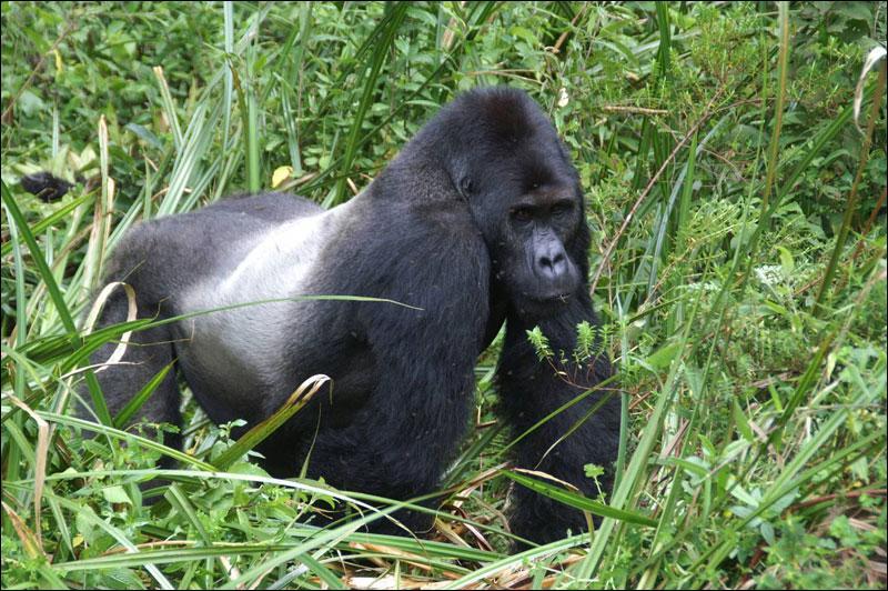 Un pays : Gorille des plaines de l'Ouest, Ali Bongo Ondimba, Libreville ?