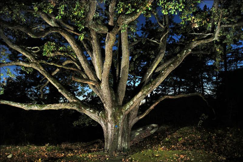 """""""Les bouquets du roi"""" caractéristiques de la forêt de Fontainebleau sont des chênes dont les branches se séparent dès la base."""