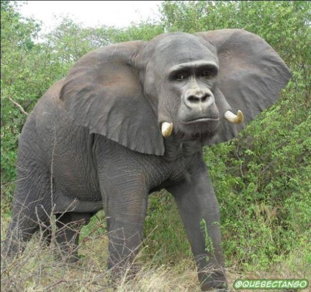 Le petit du gorille mâle et de l'éléphante femelle s'appelle l'élégorille, on vient de le découvrir au Gabon !