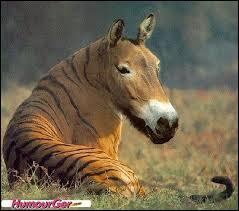 Sur cette photo, tu peux voir une tête de cheval sur un corps de tigre !