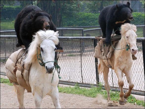 En Amérique du Nord, l'ours noir est appelé baribal !