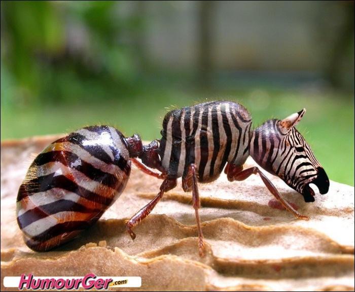 C'est un corps de fourmi, avec une tête de zèbre !