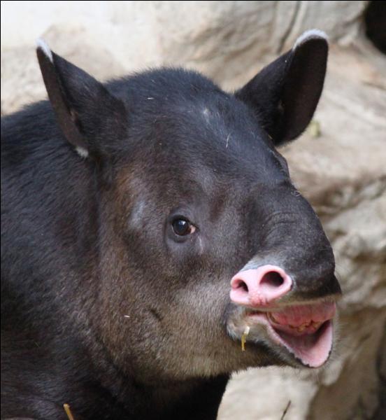 Le jaguar le fait pour surprendre le tapir !