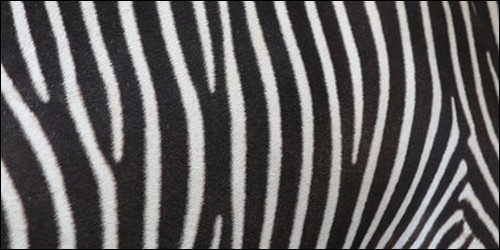 L'animal au pelage rayé est :