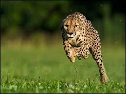 Le guépard est le bipède le plus rapide au monde.