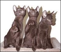 Encore une charade. Mon premier est une interjection/ Mon deuxième sert dans les écluses/ Mon troisième est une interjection/ Mon quatrième sert à transporter l'eau/ Mon tout est une race de chats originaire du Siam. Je vous laisse deviner.