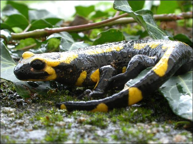 Certaines espèces de salamandres peuvent peser des dizaines de kilogrammes !