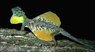 Si tu as la chance de visiter l'Indonésie, tu pourras y voir un petit lézard arboricole, le lézard draco, que l'on appelle aussi le dragon volant, car il peut voler en planant !