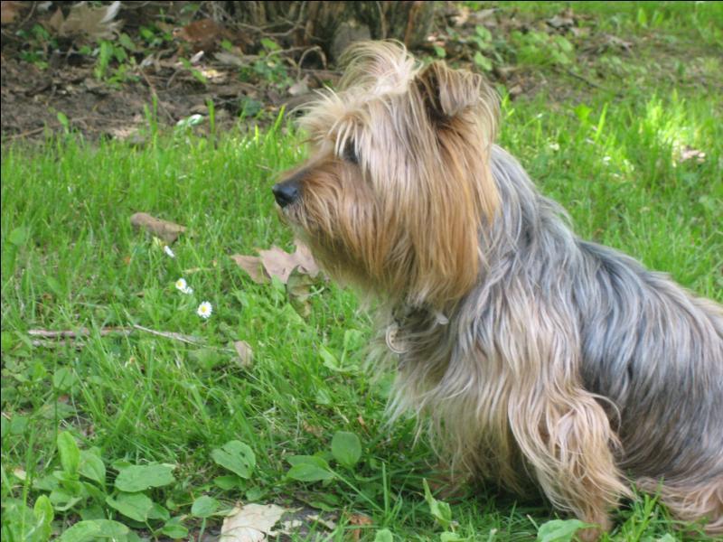 De quel poids, environ, le Yorkshire Terrier était-il à son origine ?