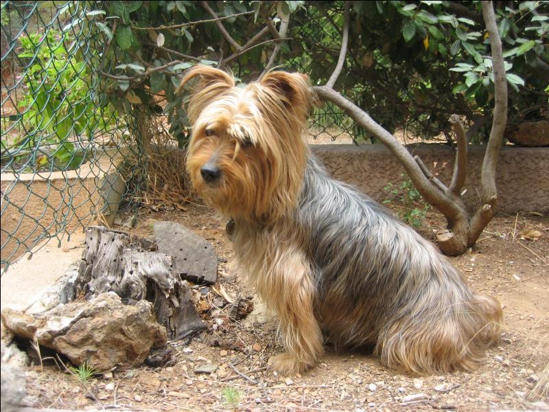 Mon Yorkshire Terrier. Hommage à mon chien