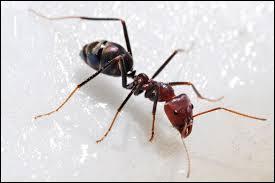 A quelle famille sont associées les fourmis ?