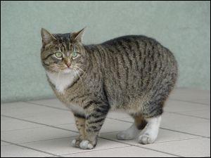 (Animaux) Sur l'île de Man, il existe un chat ayant une particularité bien spécifique. Quelle est-elle ?
