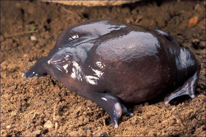 C'est une grenouille découverte très récemment, la Grenouille violette d'Inde.