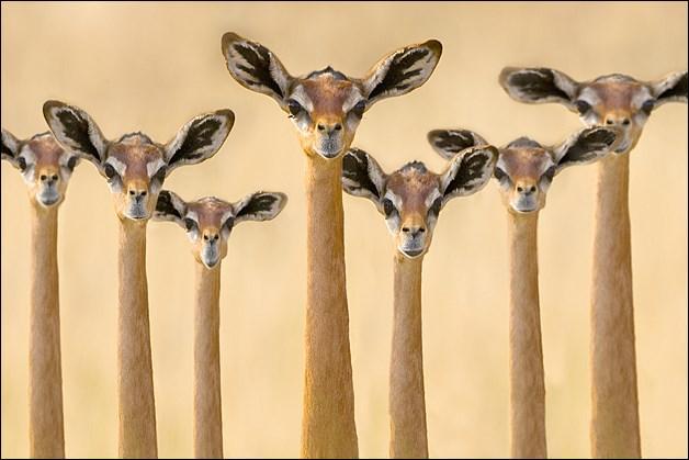 Ces Gazelles girafes vivent en Afrique et plus particulièrement dans les plaines du Serengeti.