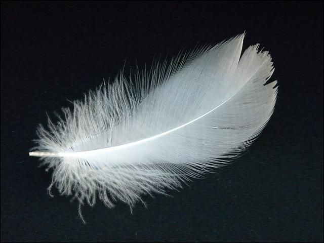 La plume est blanche, mais il existe une variante noire, durant la nidification, le mâle monte la garde autour du nid, il est alors très agressif et j'ai vu plus d'un passant courir !