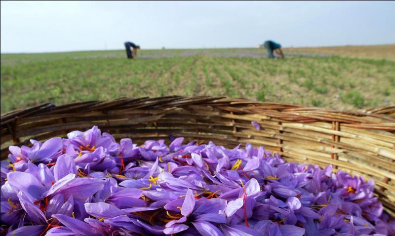 La culture de cette fleur donne l'épice la plus chère du monde, ce pays le produit depuis des siècles, alors perse ... évérez !