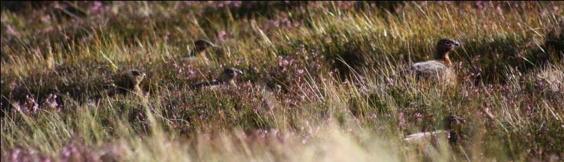 Ces oiseaux se gavent de cette plante, que l'on trouve dans la lande ou plane encore l'ombre de Quentin Durward !