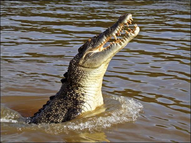 L'île de Crab Island, dans le Queensland australien attire chaque année une quantité impressionnante de crocodiles marins, ils traversent plusieurs dizaines de kilomètres de mer pour venir dévorer de jeunes tortues !