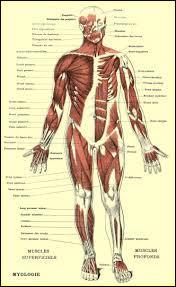 Quel est le seul organe du corps humain qui a sa taille adulte dès la naissance ?
