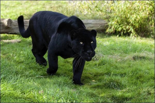 Pour t'aider à trouver le nom de ce félin, je te donne un indice : dans les forêts où il vit, il y a aussi des tapirs !
