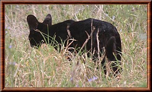 C'est très rare, mais ce petit félin d'Afrique peut lui aussi être noir, de qui s'agit-il ?
