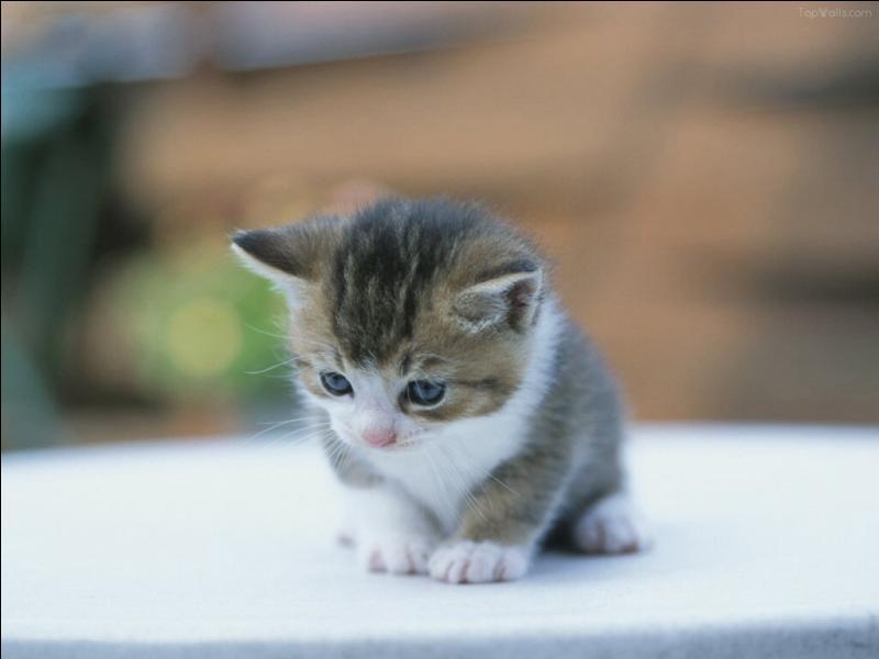 A quel âge un bébé chat commence-t-il à ouvrir les yeux ?