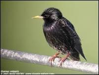 Quel oiseau est traité de malpoli quand il se rend chez quelqu'un ?