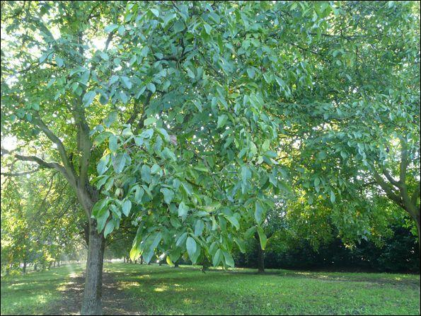 Que va-t-on trouver sous cet arbre en octobre ?