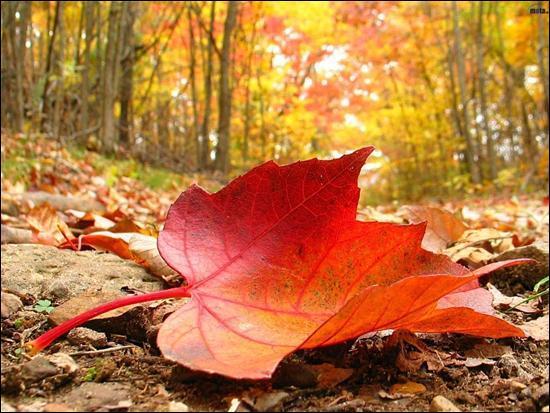 De quel arbre est tombée cette jolie feuille un jour d'octobre ?