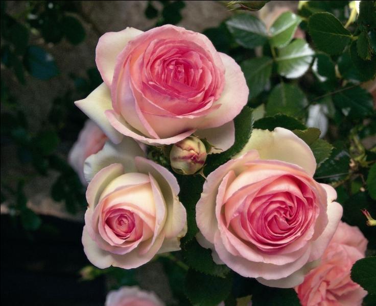 """Septembre 1524 : naissance de '...' qui a écrit ce poème 'À Cassandre' : """"Mignonne, allons voir si la rose / Qui ce matin avoit desclose / Sa robe de pourpre au Soleil, a point perdu ceste vesprée / Les plis de sa robe pourprée, et son teint au vostre pareil."""" !"""