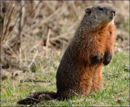 Incroyable, voilà que chez Milka, ils ont embauché une marmotte, mais enfin que fait-elle ?