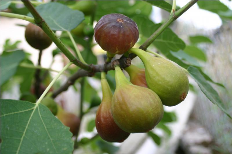 En septembre, le raisin et ... pendent.