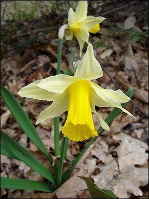 Le coucou désigne aussi le narcisse jaune :